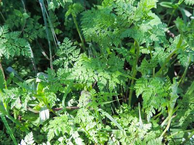 Burr Chervil (Anthriscus caucalis)