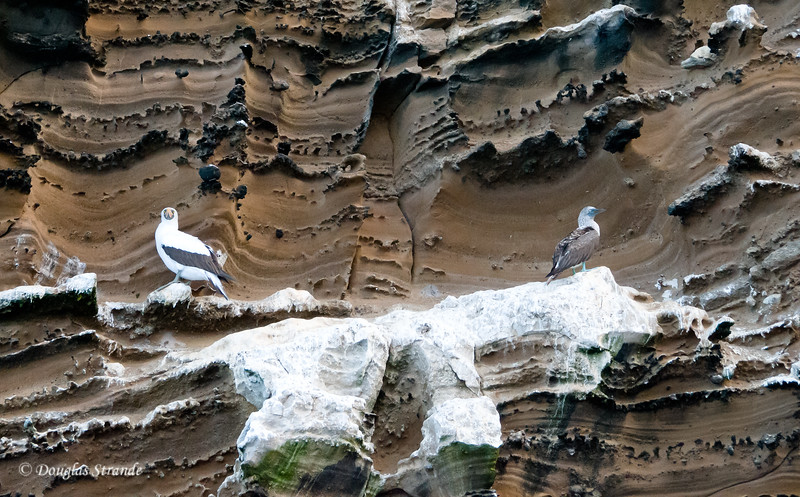 A Nazca Booby and a Blue-Footed Booby share a rocky perch at Punta Vincente Roca, Isabela Island