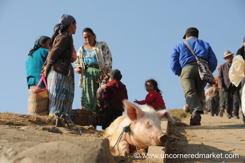 San Francisco El Alto Animal Market, Sleeping Piglet - Guatemala