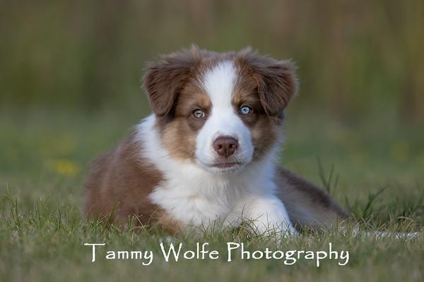 Dog, Australian Shepherd