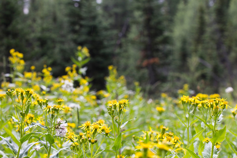 Bright arrowroot in the Canadian Rockies