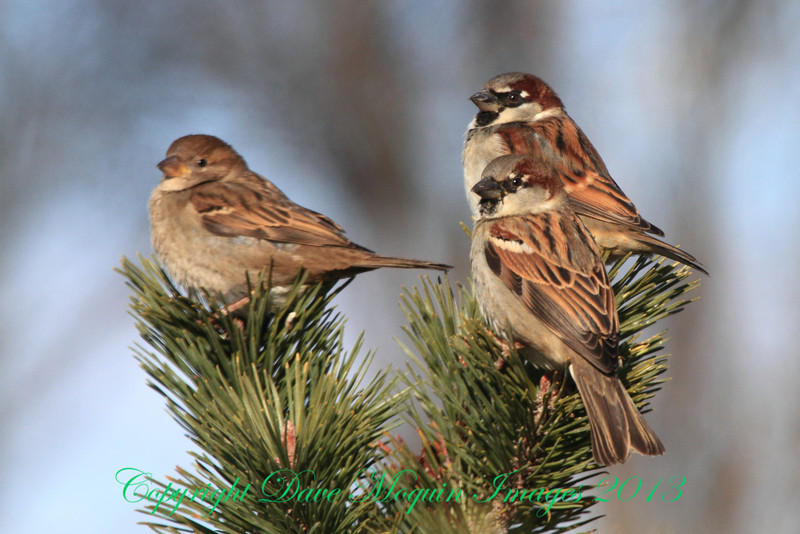 House Sparrows- Red Wing