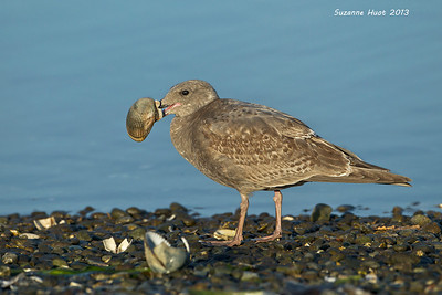 California Gull's