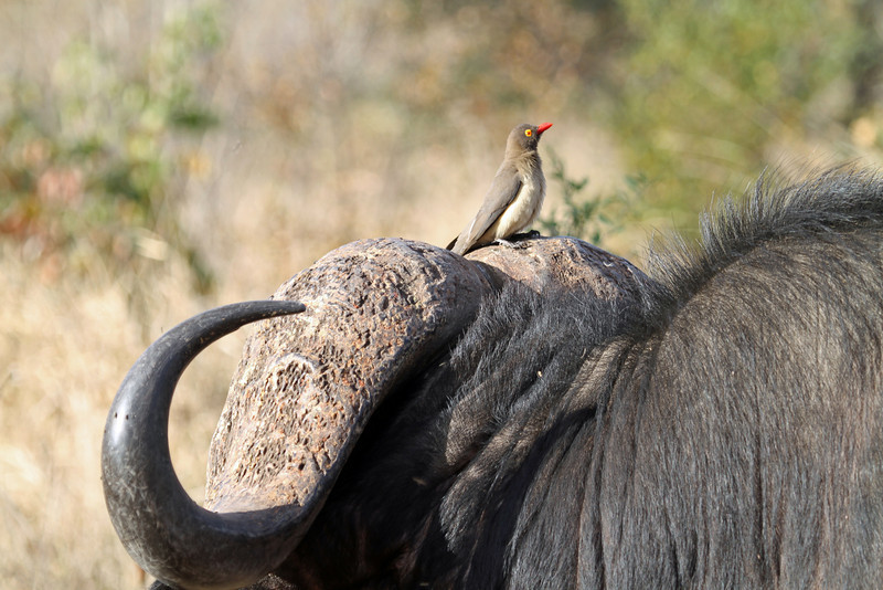 Red-billed oxpecker & cape buffalo