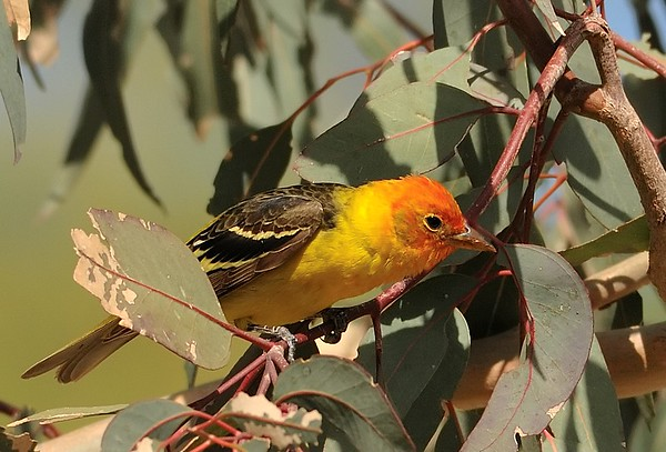 Western & Summer Tanager
