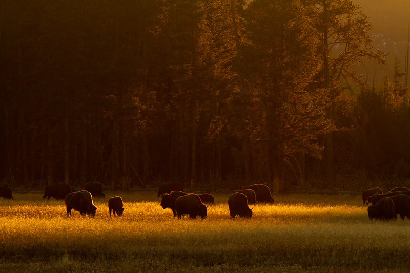 Bison herd golden backlight Fountain Flat Drive Firehole River Yellowstone National Park WY  IMG_0863.jpg