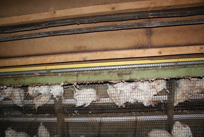 Kingersheim-poules-14.jpeg