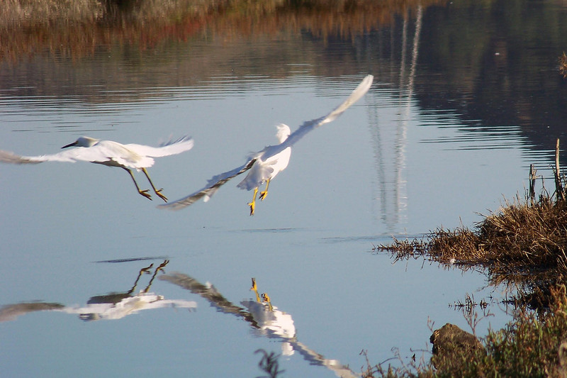 Snowy Egrets on their way  Corte Madera Marsh