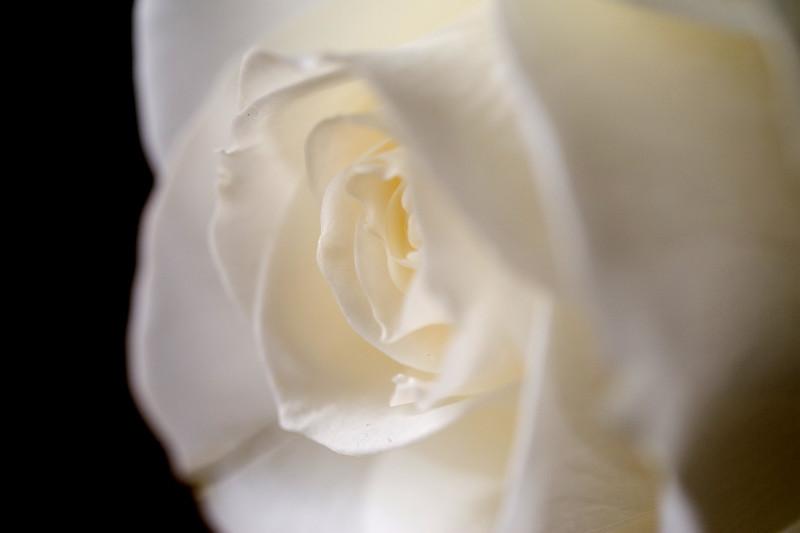 White rose 01.jpg