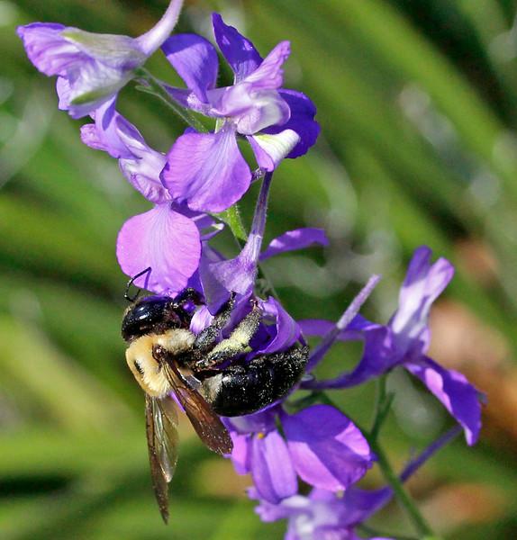 Bumble bee 43