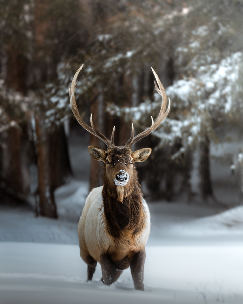 Stoic Bull Elk