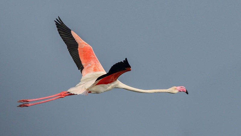 Greater-Flamingo-Pulicat.jpg