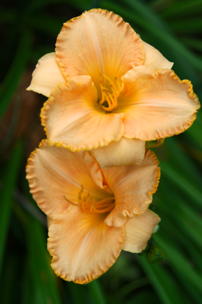 "Hemerocallis ""Melon Balls"" with a darling ruffled edge and diamond dusting in the sun.  Smells like melon too!"