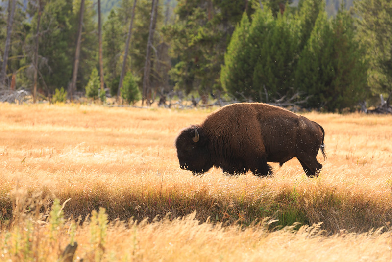 Buffalo along the Firehole River 006
