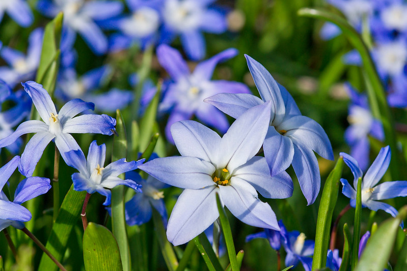 Ipheion uniflorum and Star Hyacinths