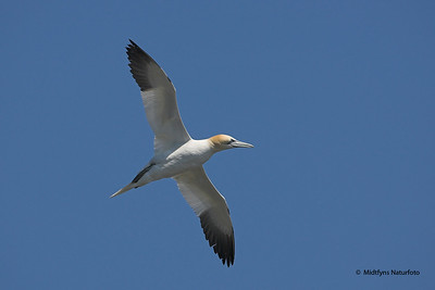 Fugle og dyr fra Shetlandsøerne