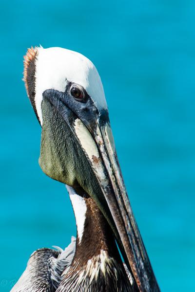 Pelican Portrait-9599.jpg