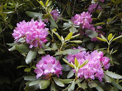 Closeup Catawba Rhododendron Balsam Mtn Road  GSMNP NC  6/17/07