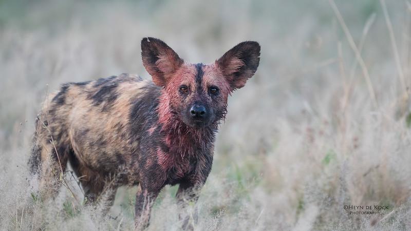 African Wild Dog, Savuti, Chobe NP, Botwana, May 2017-1.jpg