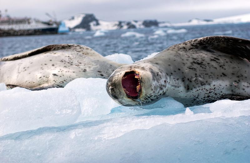 leopard seals 4-Edit.JPG