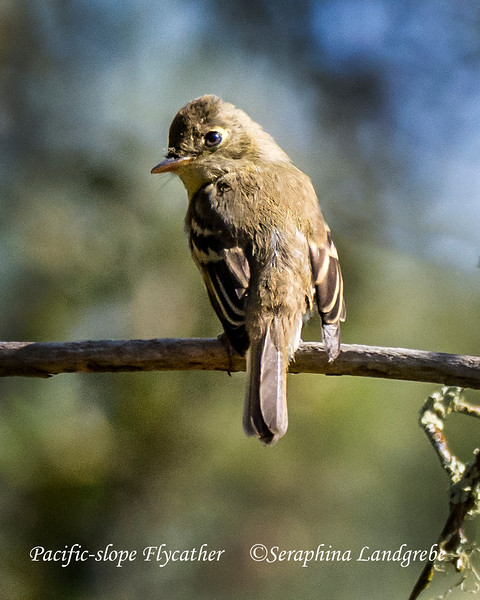_DSC6151Pacific-slope Flycatcher.jpg