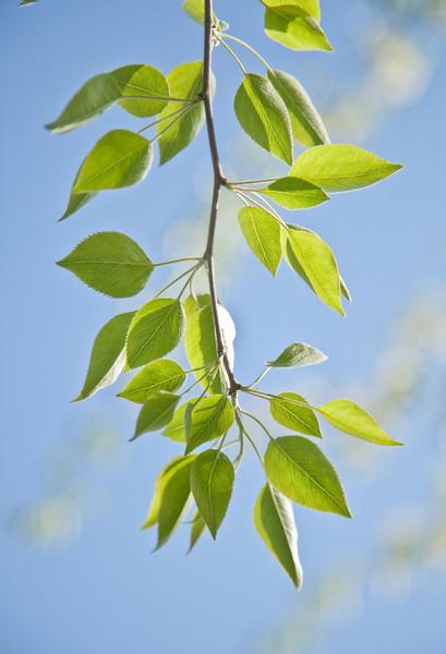 Spring leaves 0226