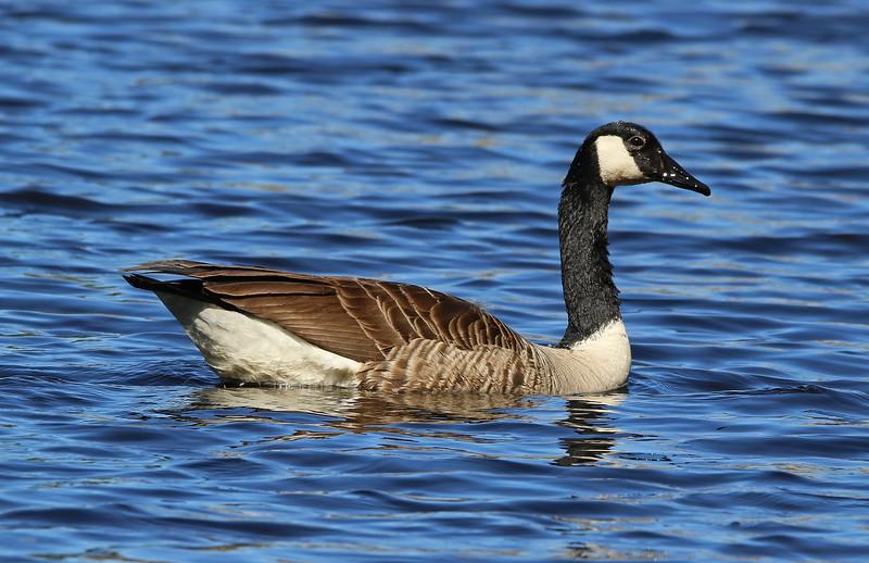 canadian goose 333_edited-1.jpg