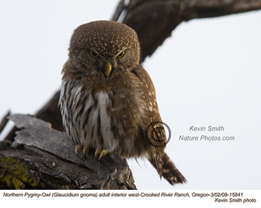 NorthernPygmyOwl15841.jpg