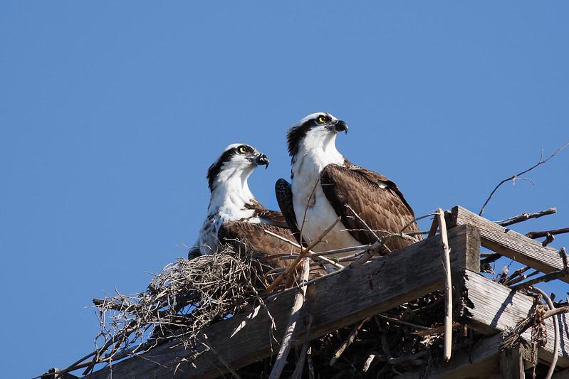 Osprey_Couple_in_Nest_2P8E2216.jpg