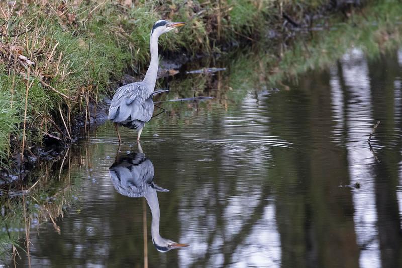 blauwe reiger, grey heron