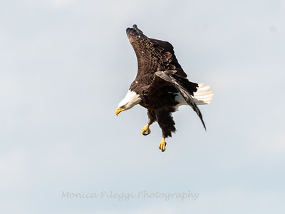 Bald Eagle in a Field May 2019