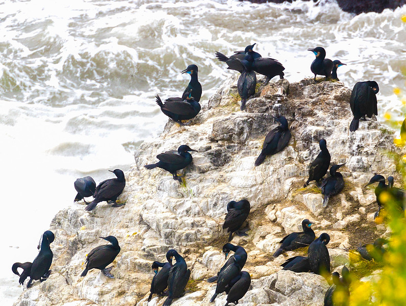 Cape Disappointment. A Brandt Cormorant rookery. See the Blue chins? That's mating plumage.