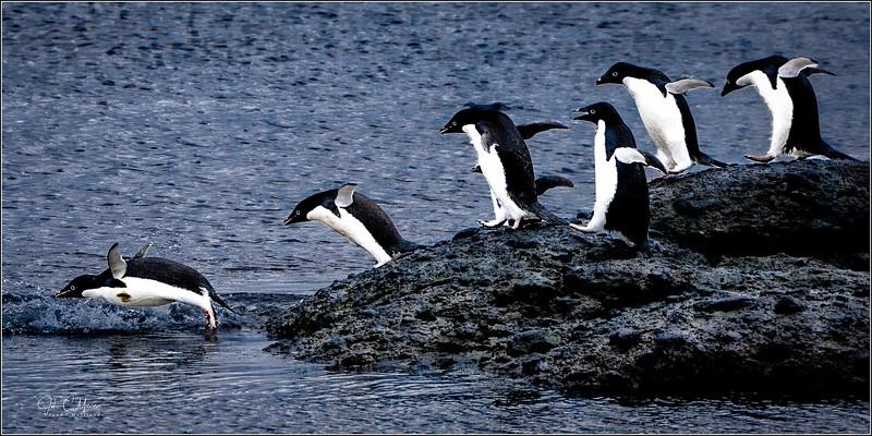 JZ7_9336 Penguins Jumping in 1x2 LPTr1W.jpg