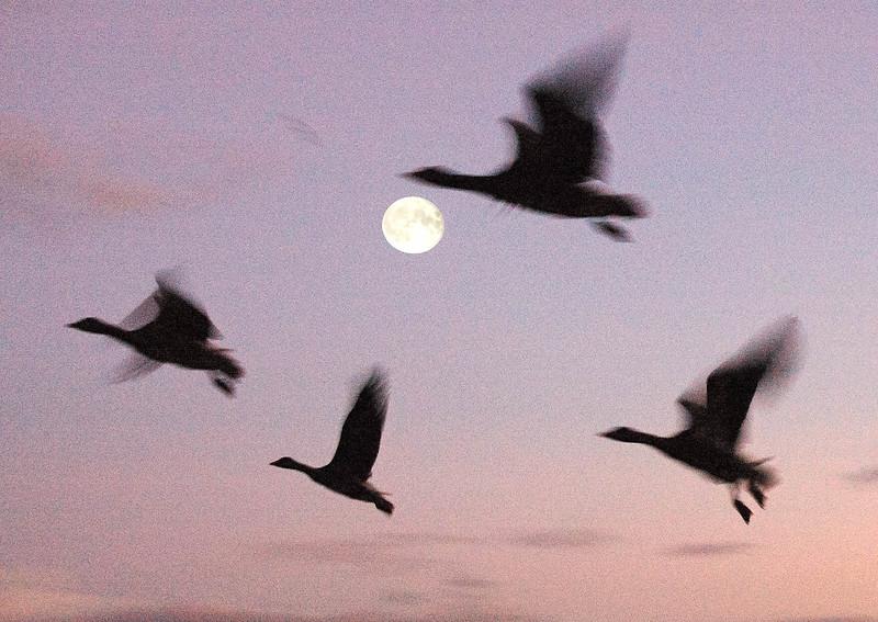 Moon Geese
