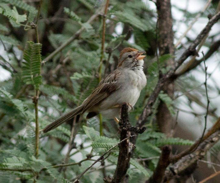Rufous-winged Sparrow  Patagonia Arizona 2011 08 21-4.CR2