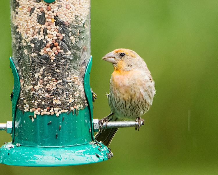 Irregular male House Finch