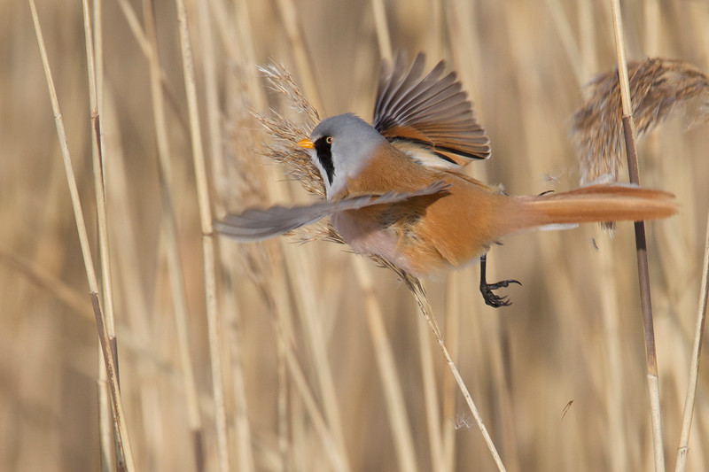 Bearded reedling_Viiksitimali_Panurus biarmicus_male in flight-8800.jpg