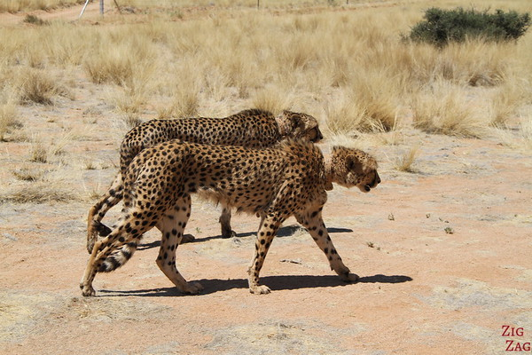 Brother and sister Cheetah, Namib Carnivore Conservation centre