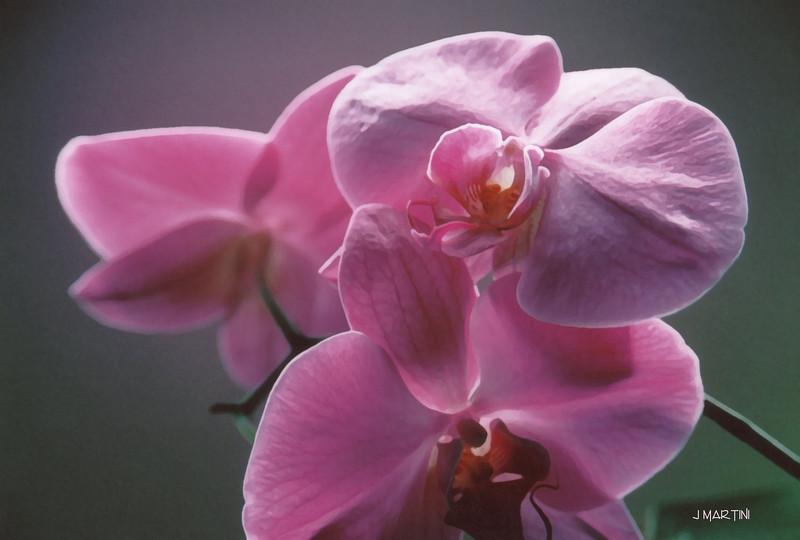 orchid study 5 4-6-2008.jpg
