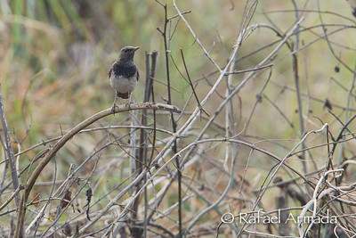 Black-throated Thrush (Turdus atrogularis)