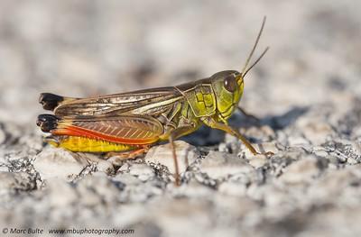 European Grasshoppers