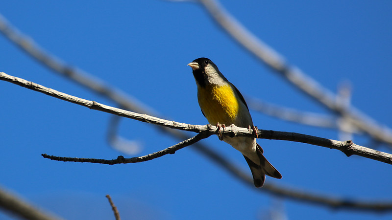 Lawrences Goldfinch at Deercreek Campground DPC