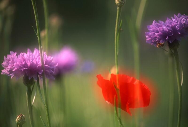 Cornflowers and poppy