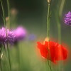 Cornflowers and poppy
