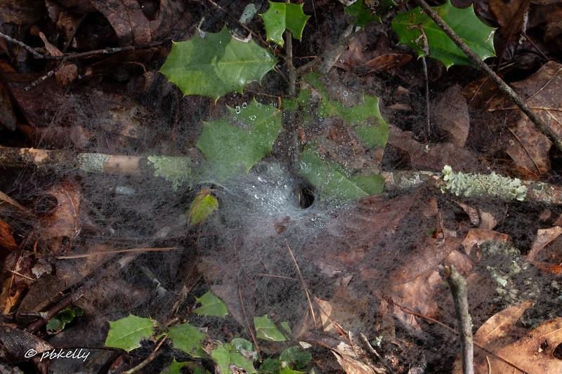 Wet funnel spider web.