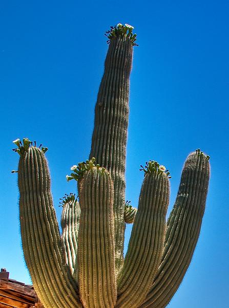 1764_Cactus_Blooms.jpg