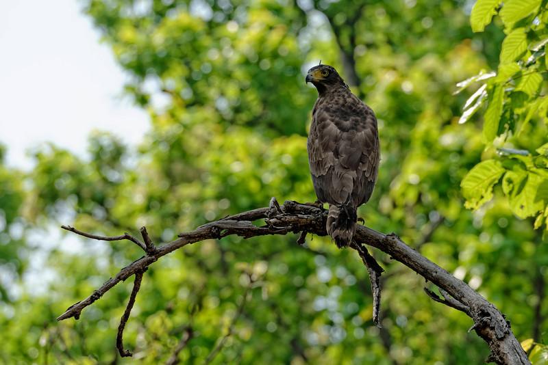 Crested serpent-eagle.