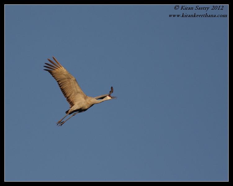 Sandhill Crane coming in to land, Cibola National Wildlife Refuge, Arizona, November 2012