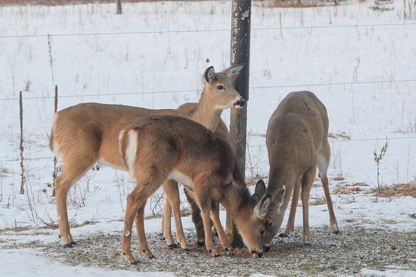 20190317 Deer DtRH