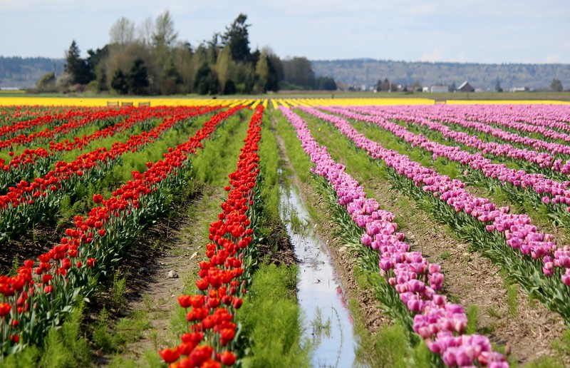 2015-03-30 2015 Tulips 080.JPG